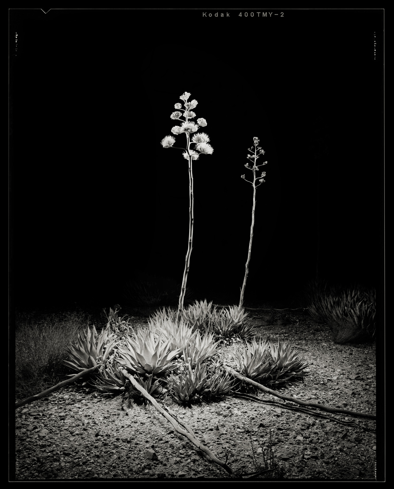 Agave-Bloom-1